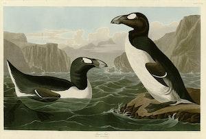 GÅRFÅGEL av John Audobon Garfåglar Alka Alkor
