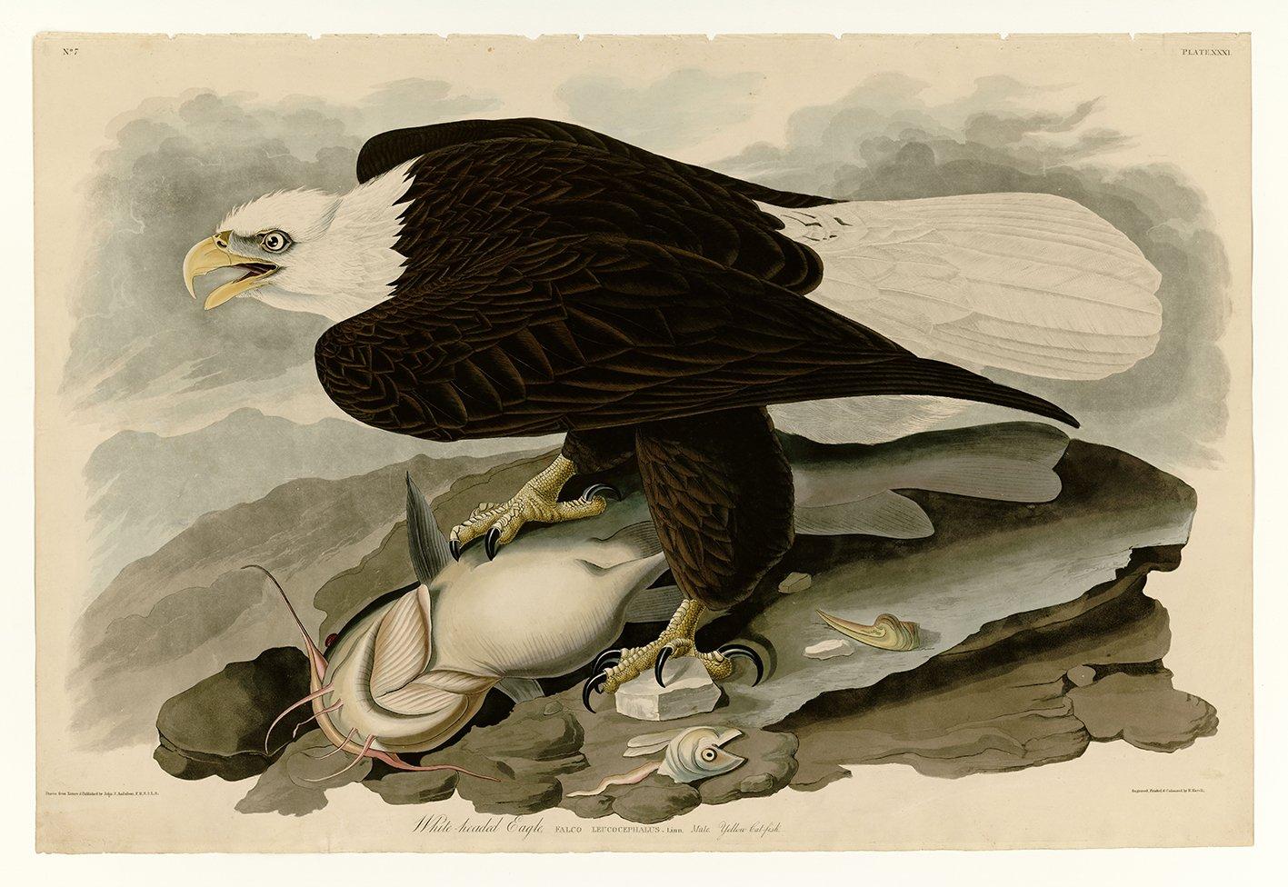 VITHÖVDAD HAVSÖRN av John Audobon Örn Bald Eagle