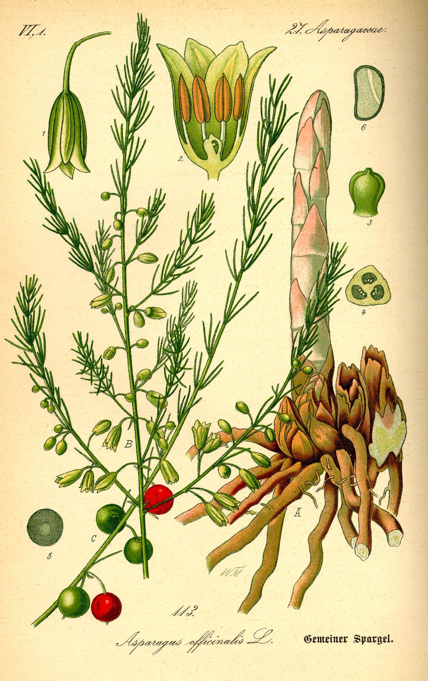 SPARRIS Asparagus officinalis