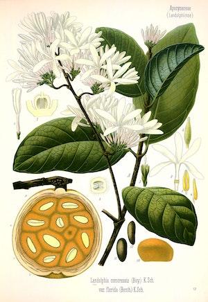 SABA COMORENSIS Oleander växt
