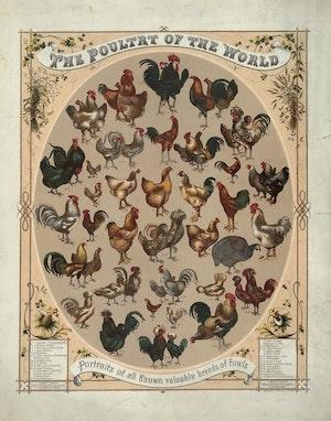 ALLA VÄRLDENS TUPP OCH HÖNS PLANSCH USA 1868