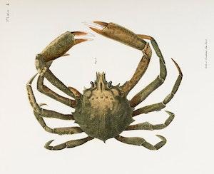 SPIDER CRAB Krabba