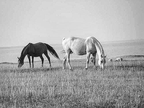 Print Hästar