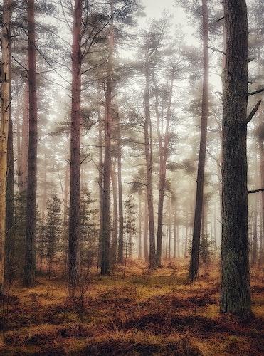 Print Dimmig skog