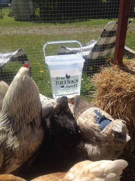 VATTENKOPP till höns, kalkon, ankor, kycklingar.