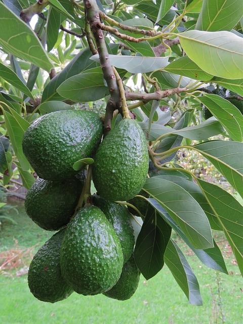 Avokadoolja, kallpressad och ekologisk