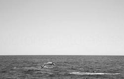 Delfin b&w
