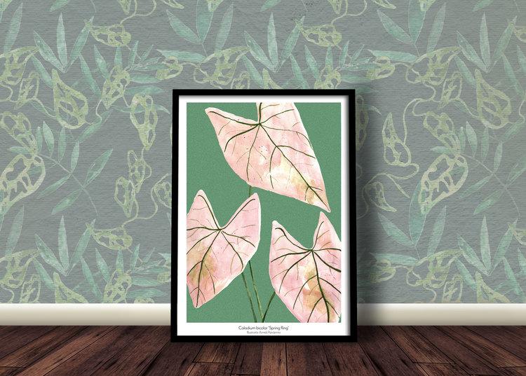 Caladium bicolor 'Spring fling'