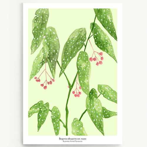Begonia albopicta var. rosea