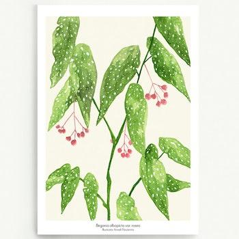 Ljus Begonia albopicta var. rosea